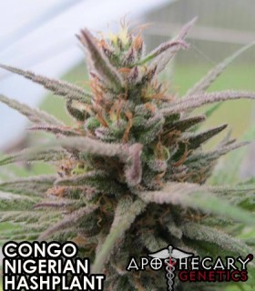Congo X Nigerian Hash Plant by Apothecary Genetics