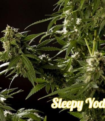Sleepy Yoda Auto