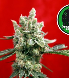 Guayaka by Reggae Seeds