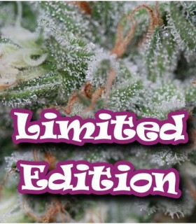 Original Ganster by Dr. Underground Seeds