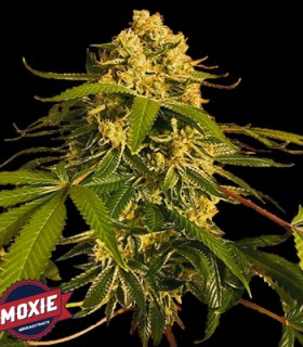 Lemon O.G. by Moxie Seeds