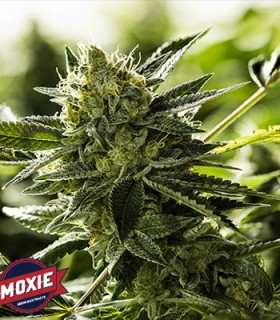 Lemon Goji O.G. by Moxie Seeds