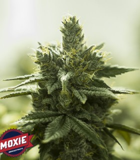 Turquoise Jeep by Moxie Seeds