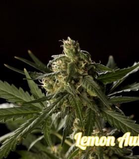 Lemon Auto CBD