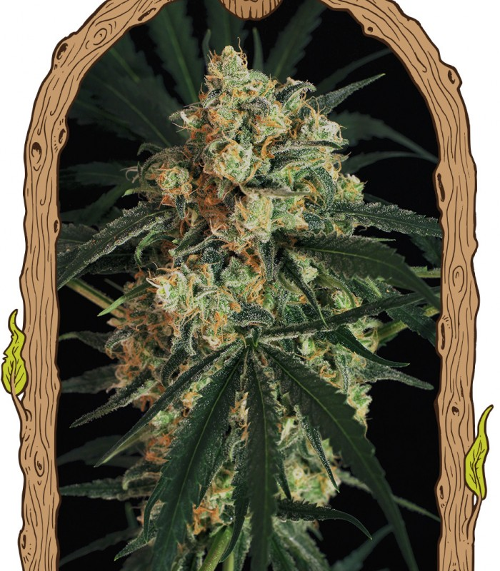 Buy Exotic Seeds Triple A Auto (A A A) - Cannabis Seeds
