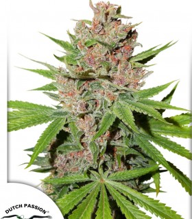 Passion Fruit by Dutch Passion Seeds