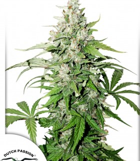 Auto Cinderella Jack by Dutch Passion Seeds