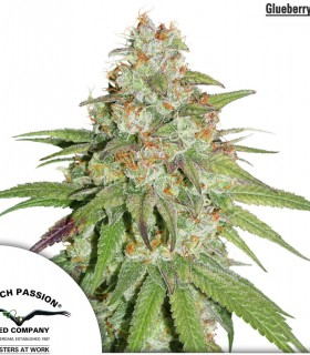 Glueberry O.G. by Dutch Passion Seeds