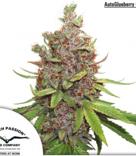 Auto Glueberry O.G. by Dutch Passion Seeds