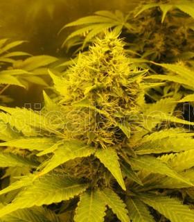 BCN Sour Diesel by Medical Seeds