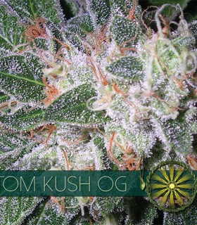 Tom Kush OG by Vision Seeds