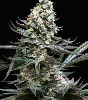 Nordés by Absolute Cannabis Seeds