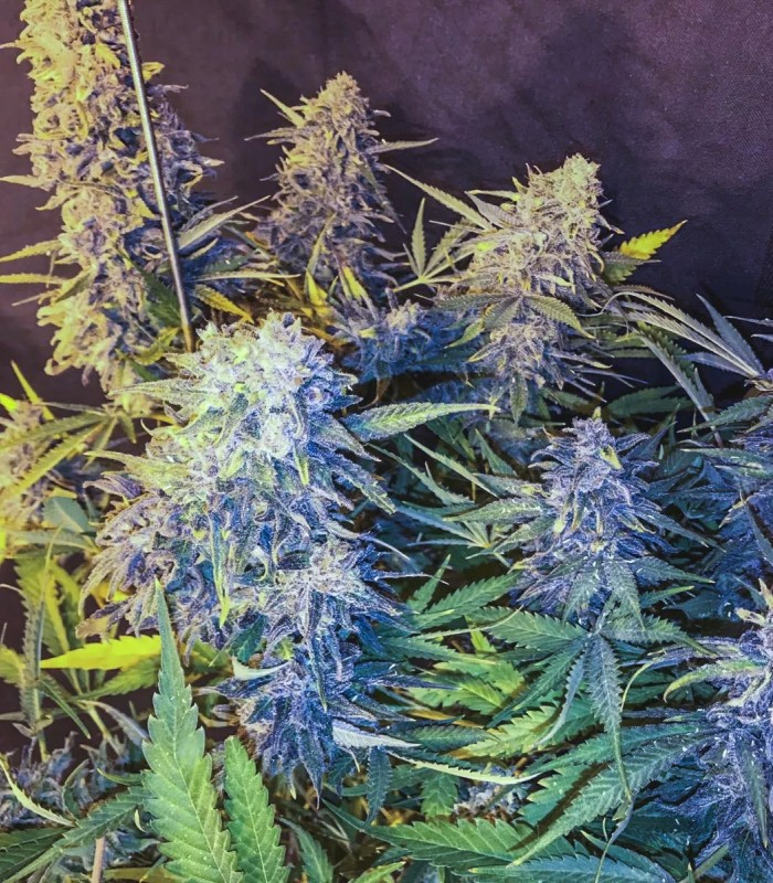 C99 x Blueberry Fast