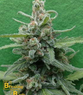 Soylent Green Auto by Breaking Buds Seeds