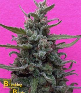 Brownie Auto by Breaking Buds Seeds