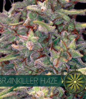 Brainkiller Haze by Vision Seeds