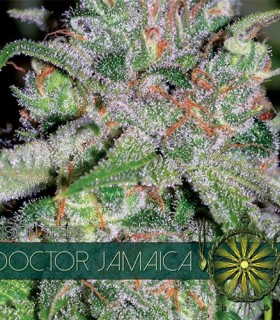 Doctor Jamaica by Vision Seeds