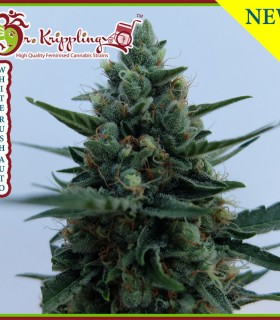 White Rush Auto by Dr Krippling