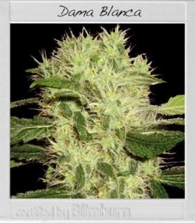 Dama Blanca by Blimburn Seeds