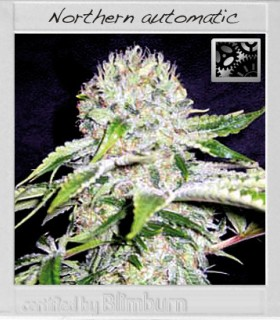 Northern Automatic by Blimburn Seeds