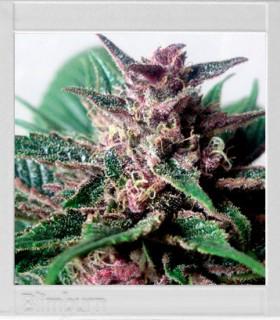 Grizzly Purple Kush by Blimburn Seeds