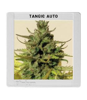 Tangie Auto by Blimburn Seeds