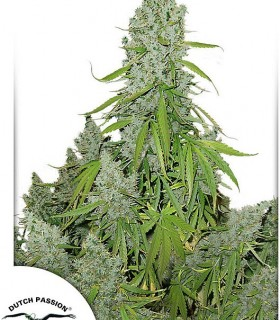 Auto Ultimate by Dutch Passion Seeds