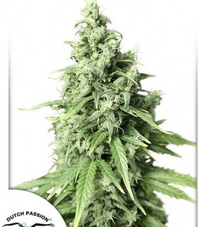AutoDurban Poison by Dutch Passion Seeds