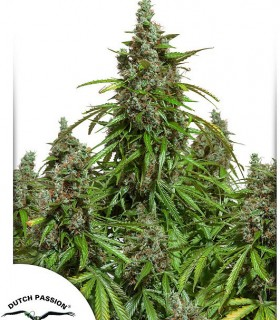 Automazar by Dutch Passion Seeds