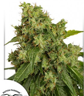 AutoXtreme by Dutch Passion Seeds