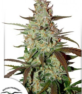 Blue AutoMazar by Dutch Passion Seeds