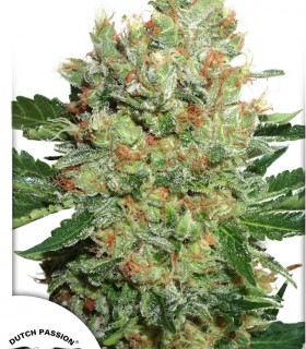 Brainstorm by Dutch Passion Seeds