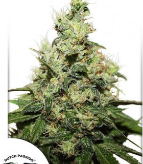 CBD Kush by Dutch Passion Seeds