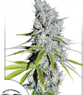 CBD Skunk Haze by Dutch Passion Seeds