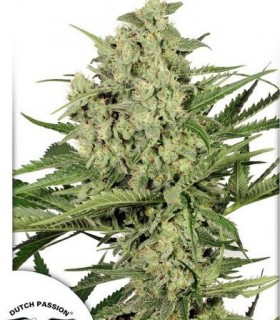 Duth Cheese  by Dutch Passion Seeds