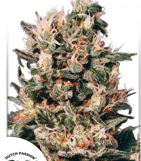 Euforia by Dutch Passion Seeds