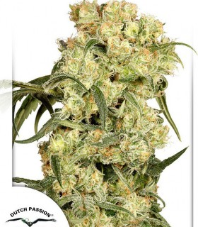Freddy's  Best by Dutch Passion Seeds