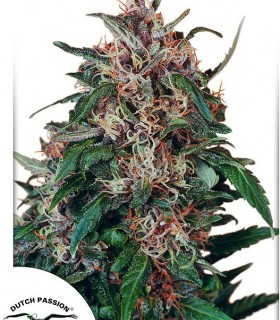 Hollands Hope  by Dutch Passion Seeds