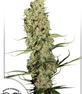 Jorge's Diamonds 1 by Dutch Passion Seeds