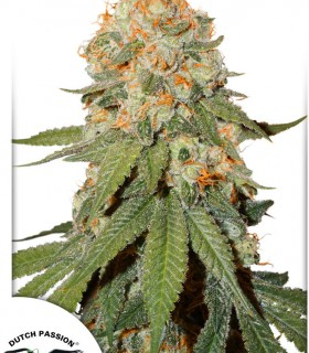 Orange Bud by Dutch Passion Seeds