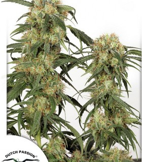 Pamir Gold  by Dutch Passion Seeds