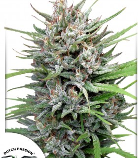 Passion 1  by Dutch Passion Seeds