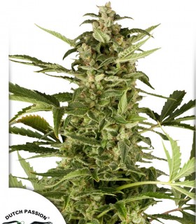 PolarLight 3 by Dutch Passion Seeds