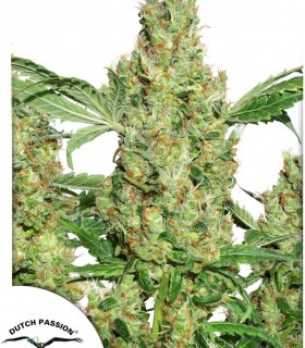 Power Plant by Dutch Passion Seeds