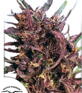 Purple 1 by Dutch Passion Seeds