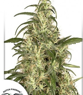 Skunk 11 by Dutch Passion Seeds