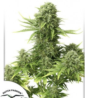 StarRyder by Dutch Passion Seeds