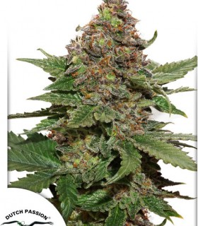 Strawberry Cough by Dutch Passion Seeds