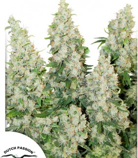 Think Different by Dutch Passion Seeds