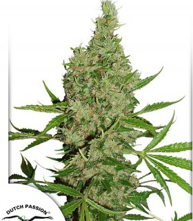 White Widow x The Ultimate by Dutch Passion Seeds